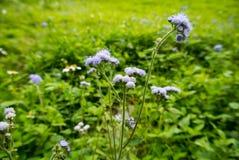 Fleur pourprée sauvage Photo stock