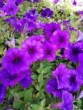 Fleur pourpr?e dans le jardin photos libres de droits