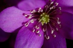 Fleur pourpre Image libre de droits