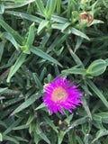 Fleur pourpre au néon Photos stock