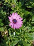 Fleur pourpre au soleil 4k de ressort Images libres de droits