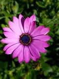 Fleur pourpre au soleil 4k de ressort Photos libres de droits