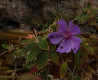 Fleur pourpre avec cinq pétales avec un mur en pierre dans le dos Photo stock