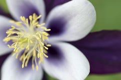Fleur pourpre avec l'étamine jaune Image libre de droits