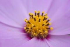 Fleur pourpre avec le centre de yelow Image libre de droits