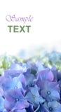 Fleur pourpre bleue d'hortensia Photos libres de droits