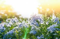 Fleur pourpre brouillée sur le fond de coucher du soleil Photo libre de droits