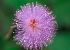Fleur pourpre colorée dans la fin  Photographie stock