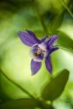 Fleur pourpre connue sous le nom de chapeau de lutin Image stock
