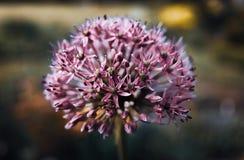 Fleur pourpre d'allium Photographie stock