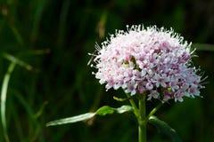 Fleur pourpre d'alpe Images stock