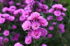 Fleur pourpre d'amellus d'aster Image libre de droits