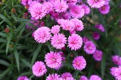 Fleur pourpre d'amellus d'aster Photos libres de droits