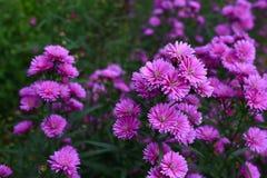 Fleur pourpre d'amellus d'aster Photographie stock