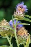 Fleur pourpre d'artichaut Photographie stock