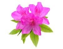 Fleur pourpre d'azalée Photographie stock