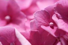 Fleur pourpre d'hortensia (macrophylla d'hortensia) dans un jardin images libres de droits