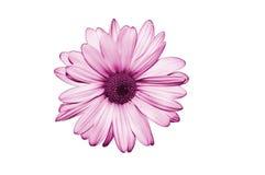 Fleur pourprée d'isolat sur le fond blanc Image libre de droits