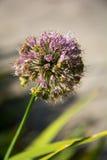 Fleur pourpre d'oignon d'alium Photos stock