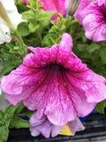 Fleur pourpre d'ombre photos stock