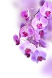 Fleur pourpre d'orchidée Image libre de droits