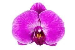 Fleur pourpre d'orchidée d'isolement sur le fond blanc Image stock