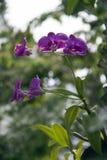 Fleur pourpre d'orchidée de mite sur l'arbre Le Phalaenopsis est l'une des orchidées de les plus populaires dans le commerce photo stock