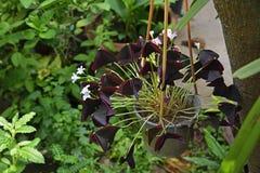 Fleur pourpre d'oxalide petite oseille dans le jardin Image libre de droits