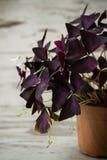 Fleur pourpre d'oxalide petite oseille de regnellii d'Oxalis Images stock