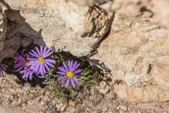 Fleur pourpre dans Grand Canyon Photographie stock