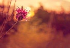 Fleur pourpre dans le coucher du soleil Photo libre de droits