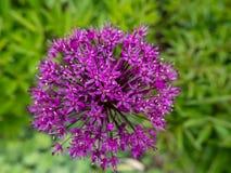 Fleur pourpre dans le domaine photographie stock libre de droits