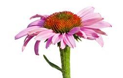 Fleur pourpre de cône Photographie stock
