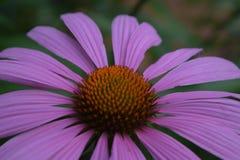 Fleur pourpre de cône Photos stock