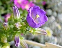 Fleur pourpre de campanule Image stock