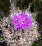 Fleur pourprée de chardon Image libre de droits