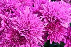 Fleur pourpre de chrysanthème dans le jardin Images libres de droits