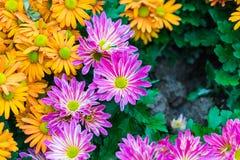 Fleur pourprée de chrysanthemum Photographie stock libre de droits