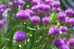 Fleur pourpre de ciboulette Photo libre de droits