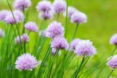 Fleur pourpre de ciboulette, macro photo Image libre de droits
