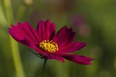 Fleur pourpre de cosmos Photo stock
