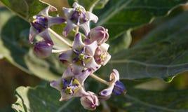 Fleur pourpre de fleur de couronne de gigantea de Calotropis grondant sur l'arbre dans le jardin images stock