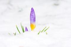 Fleur pourpre de crocus dans la neige Image libre de droits