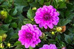 Fleur pourpre de dahlia Photos stock