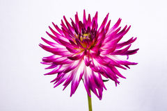 Fleur pourpre de dahlia de cactus photographie stock