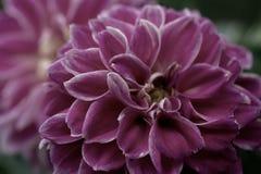 Fleur pourpre de dahlia sur un fond foncé photo stock