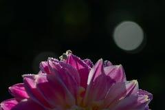 Fleur pourpre de dahlia sur un fond foncé image libre de droits