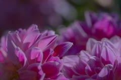 Fleur pourpre de dahlia sur un fond foncé photos libres de droits