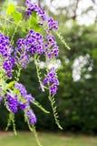 Fleur pourpre de fleurs d'erecta de Duranta Photos stock