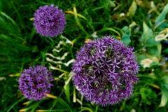 fleur pourpre de floraison d'illium Image stock